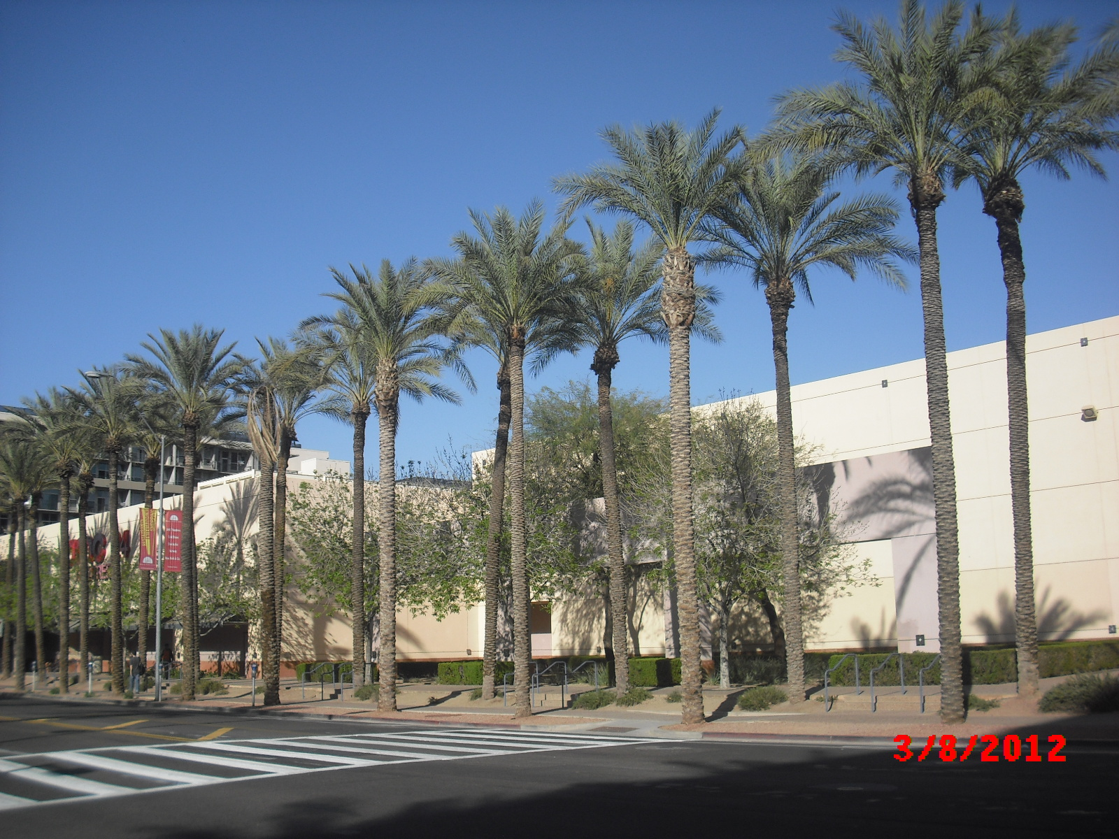 Downtown Phoenix Palms